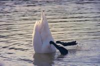 Swan-4017568_960_720